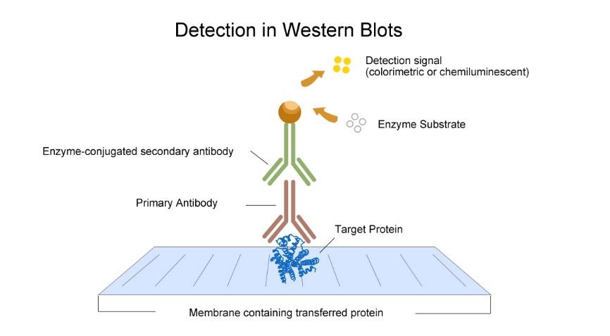 western blotting principle and procedure pdf