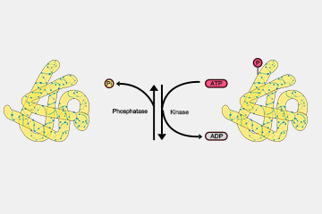 Protein Phosphorylation: An Important Landmark Event for Biological Processes