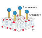 Annexin V Apoptosis Detection Kits